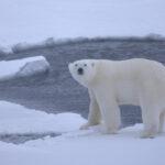 Cambio climático pone en jaque la supervivencia del oso polar