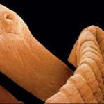 EEUU: Descubren lombriz que transmite células cancerosas a humanos