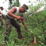 Perú erradicó 35 mil hectáreas de hoja de coca ilegal en 2015