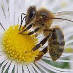 El olor de flores reduce la respuesta agresiva de las abejas