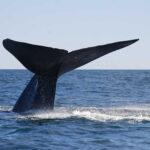 Chile: Rescatan ballena azul de veinte metros varada en playa