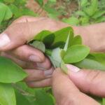 Bolivia: Franceses apoyarán industrialización de la hoja de coca