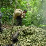 Perú erradicó más de 35 mil hectáreas de hoja de coca
