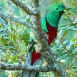 Ave quetzal: Al borde de extinción por caza y falta de hábitat