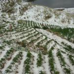 Junín: Granizo dañó 60 hectáreas de cultivo