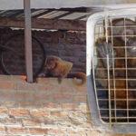 Piura: Rescatan a mono en peligro de extinción