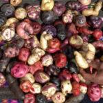 Yanacollpa: Producirán 10 toneladas de papa nativa