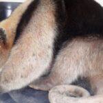 Piura: Oso hormiguero es rescatado por Serfor