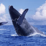 R.Dominicana: Inician temporada de observación de ballenas jorobadas