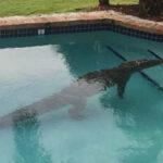 Miami: Cocodrilo causa revuelo al meterse en piscina de residencia