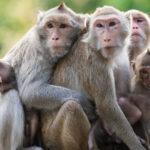 Investigan con monos transgénicos avanzar en tratamiento del autismo