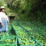 Palta Hass: Más de US$ 16 millones en exportaciones el 2015
