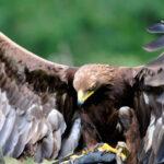 Scotland Yard evalúa entrenar águilas para interceptar drones ilegales