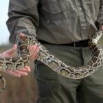 EEUU: Capturan 106 ejemplares en caza de serpientes pitón en Florida