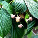 Tacna diversificará su oferta productiva con fresas