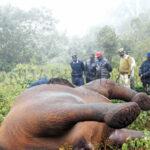 ONU: Elefantes africanos siguen disminuyendo por la caza furtiva