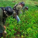 Colombia evalúa reiniciar fumigaciones de cultivos de coca con glifosato (VIDEO)