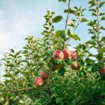 Sierra Exportadora promueve cultivo de manzana