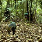 Amazonía peruana: Avistan por primera vez un perro de monte