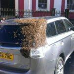 Reino Unido: Abejas tras auto dos días para rescatar reina