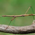 China: Descubren el insecto más largo del mundo, de 62.4 cm