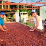Cerca de 80,000 toneladas de cacao producen 16 regiones al año