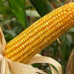 Junín: INIA promueve tecnología en cultivo de maíz