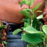 Alerta: cultivadores de coca podrían ser extraditados a Estados Unidos (VÍDEO)