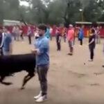 Impresionante experimento: si no agreden al toro él ni los toca (VÍDEO)