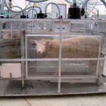 Cambio climático: Reducen cantidad de gas metano que emiten rumiantes