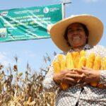 INIA confirma rentabilidad del híbrido de maíz