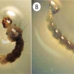 Chile: Confirman nuevo hallazgo de larva que transmite virus del Zika