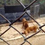 Chile: Abaten dos leones en zoo para salvar a joven que entró a jaula