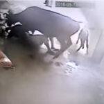 Sorprendente: vaca salvó la vida de una mujer golpeada por un hombre (VÍDEO)
