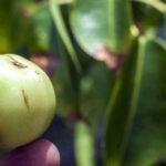 Alerta: Manzanillo de la muerte es el árbol más peligroso del mundo [VÍDEO]