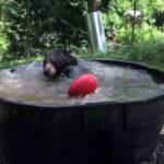 Sensación: Oso utiliza tina como 'jacuzzi' para tomar un baño [VÍDEO]