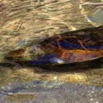 EEUU: Tortuga boba es liberada en el mar tras un año de rehabilitación