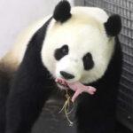Bélgica: Nace en un zoológico oso panda gigante que fue inseminado
