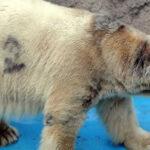 Argentina: Controversia por muerte del último oso polar Arturo