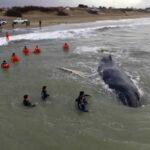 Argentina: Rescatan ballena varada en playa de balneario (VIDEO)