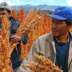 Perú exportó quinua por US$ 38.7 millones e ingresó a 7 nuevos mercados