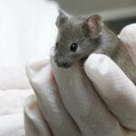Unen dos trozos de médula dañada de ratón con nanotubos de carbono