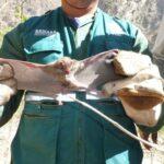 SENASA activa prevención de brotes de rabia silvestre en Apurímac