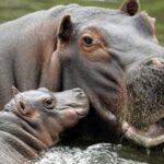 Los hipopótamos llegaron a Europa en 3 oleadas en el Pleistoceno