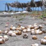 Panamá: Alertan sobre peligros de consumir huevos de tortuga del Pacífico