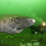 El tiburón de Groenlandia es el vertebrado más longevo