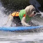 Decenas de perros surfearon en Huntington Beach (FOTOS)