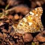 Una mariposa es capaz de hacer migración de 4,000 kilómetros