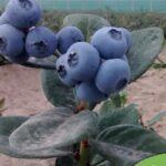 Perú podrá exportar arándanos a China a partir de noviembre