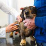 Perú planea vacunar a casi 3 millones de perros contra la rabia